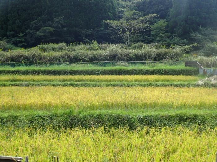 ヒヨト松の棚田